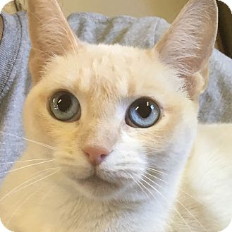 Siamese Cat for adoption in Oakdale, California - Olivia