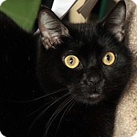 Domestic Shorthair Cat for adoption in St. Louis, Missouri - Dusty