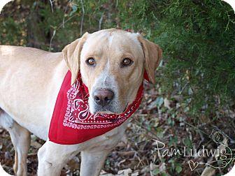 Labrador Retriever Mix Dog for adoption in Manchester, Connecticut - Jeffrey  adoption pending