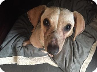 Dachshund Dog for adoption in Aurora, Colorado - Crocket