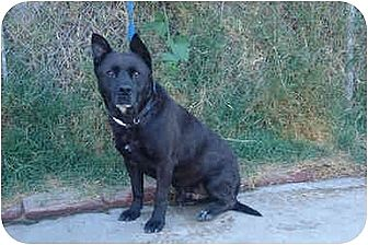 Labrador Retriever/Akita Mix Dog for adoption in West Los Angeles, California - Mr. Buddy