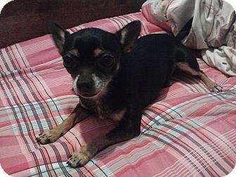 Chihuahua Dog for adoption in Berlin, Wisconsin - MoJo