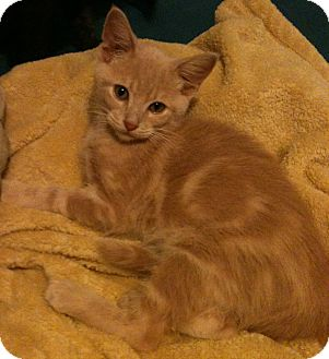 Domestic Shorthair Cat for adoption in Sterling Hgts, Michigan - Lyle
