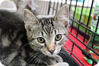Domestic Shorthair Kitten for adoption in Santa Monica, California - Juniper