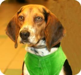 Beagle Dog for adoption in Houston, Texas - Bobbi - Stunning beauty
