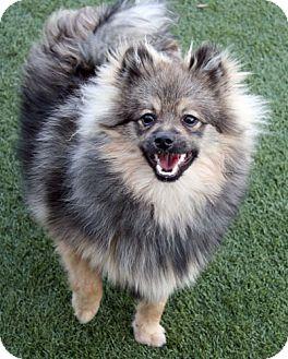 Keeshond Dog for adoption in Los Altos, California - Manrico
