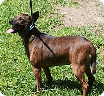 Terrier (Unknown Type, Small)/Miniature Pinscher Mix Dog for adoption in Daleville, Alabama - Brenda