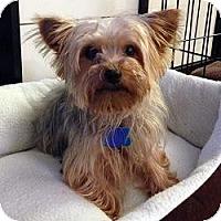 Adopt A Pet :: Copper - Miami, FL