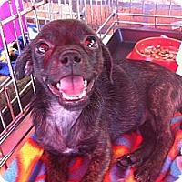 Adopt A Pet :: Darla - North Hollywood, CA