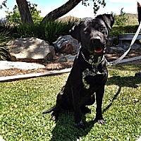 Adopt A Pet :: Coda - Santa Monica, CA