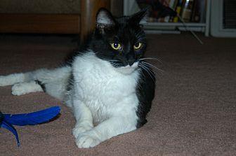 Domestic Shorthair Cat for adoption in San Jose, California - Sylvester
