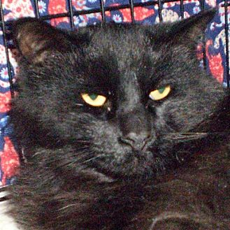 Turkish Angora Cat for adoption in Santa Fe, New Mexico - Lakota