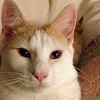 Domestic Shorthair Cat for adoption in Durham, North Carolina - Tygarian