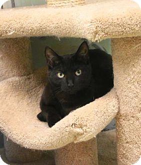 Domestic Shorthair Cat for adoption in Gloucester, Massachusetts - Little Sweetie