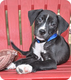 Labrador Retriever/Border Collie Mix Puppy for adoption in Allentown, Pennsylvania - Ebony