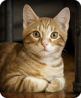 Domestic Shorthair Kitten for adoption in Chicago, Illinois - Uzu