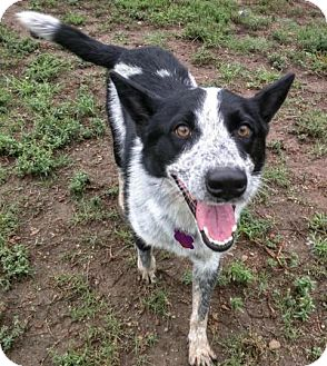 Australian Cattle Dog Mix Dog for adoption in Manhattan, Kansas - Houston