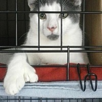 Adopt A Pet :: Mitts McGillicuddy - Clarkson, KY