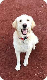 Golden Retriever Puppy for adoption in Carlsbad, California - Molly