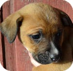 Boxer/Labrador Retriever Mix Puppy for adoption in Manchester, Connecticut - Blaze ADOPITON PENDING