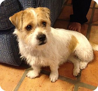 Jack Russell Terrier/Tibetan Terrier Mix Dog for adoption in Scottsdale, Arizona - SADIE V