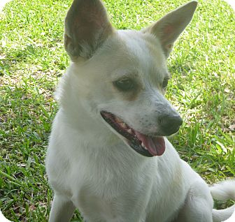 Rat Terrier Mix Dog for adoption in St. Petersburg, Florida - Sandy