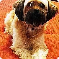 Adopt A Pet :: Pippin - Gilbert, AZ