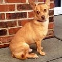 Chihuahua Dog for adoption in Mount Pleasant, South Carolina - Bobby