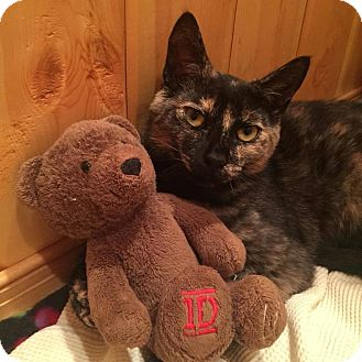 Domestic Shorthair Cat for adoption in Barrington, New Jersey - Sassy