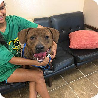 American Pit Bull Terrier Mix Dog for adoption in Cumming, Georgia - Meeko