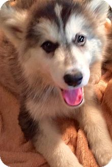 Siberian Husky Puppy for adoption in Memphis, Tennessee - Kokechin~UPDATE!