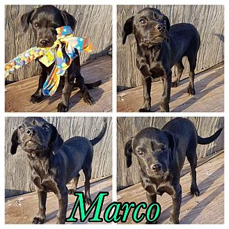 Chihuahua Mix Puppy for adoption in New Milford, Connecticut - Marco