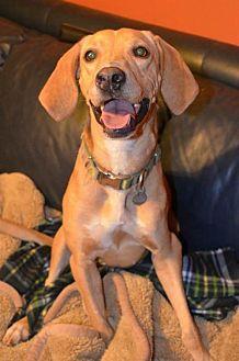 Labrador Retriever Mix Dog for adoption in Albemarle, North Carolina - Callie