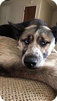 Akita/Husky Mix Dog for adoption in Los Banos, California - Kansas
