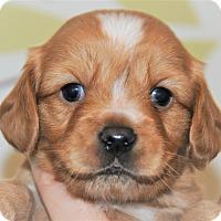 Adopt A Pet :: Doughnut - Agoura Hills, CA