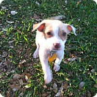 Adopt A Pet :: Neve - Boerne, TX