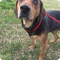 Adopt A Pet :: Tig - Joliet, IL