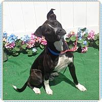 Adopt A Pet :: GUNNER - Marietta, GA