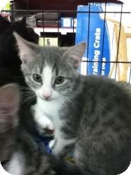 Domestic Shorthair Kitten for adoption in Riverside, Rhode Island - Sarah
