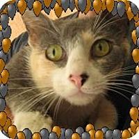 Adopt A Pet :: Pretty Patience - Los Angeles, CA