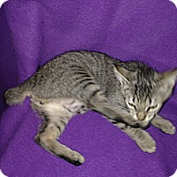 Adopt A Pet :: Tom - Simpsonville, SC