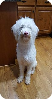 Irish Wolfhound/Italian Spinone Mix Puppy for adoption in Dacula, Georgia - Blanca
