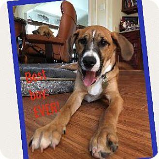 Hamilton Hound Mix Hamilton | Adopted Pup...