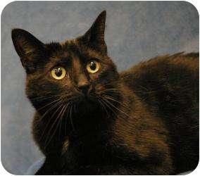 Domestic Shorthair Cat for adoption in Sacramento, California - Pantera