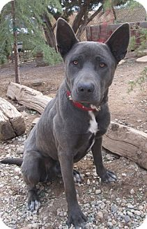 Shepherd (Unknown Type) Mix Dog for adoption in Toluca Lake, California - Alexander Blue Boy