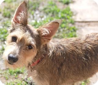 Schnauzer (Standard)/Terrier (Unknown Type, Small) Mix Dog for adoption in Norwalk, Connecticut - Spice