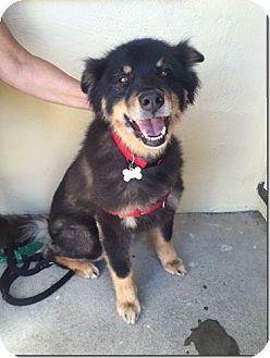Australian Shepherd Mix Dog for adoption in Petaluma, California - Logan