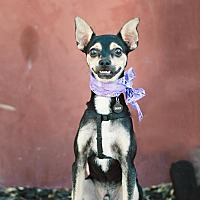 Chihuahua/Miniature Pinscher Mix Puppy for adoption in Redondo Beach, California - Snoop-ADOPT Me!