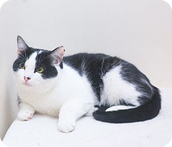 Domestic Shorthair Cat for adoption in Northbridge, Massachusetts - Simone
