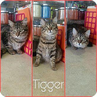Domestic Mediumhair Kitten for adoption in Steger, Illinois - Tigger